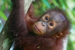 9-baby-orangutan