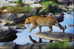 botswana-leopard