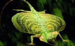 10-draco-flying-lizard