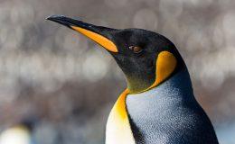11-penguin