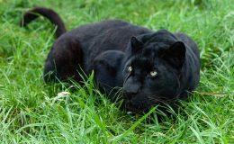 2-blackjaguar