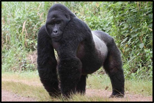 Gorilla | Worldwide Wildlife Expeditions | Borton Overseas