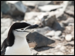 Penquin  Worldwide Wildlife Expeditions   Borton Overseas